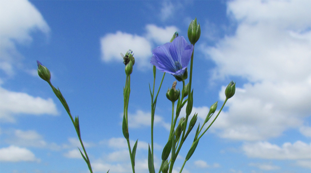 リネンの花1