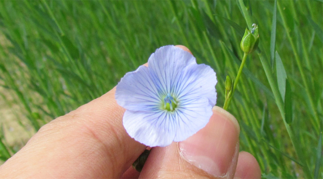 リネンの花2